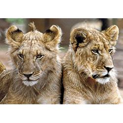Löwenpärchen