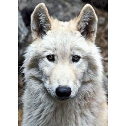 Wolf 1 - 50 x 70 cm