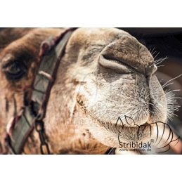 Camel - 100 x 70 cm
