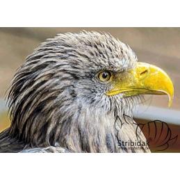 Eagle - 100 x 70 cm