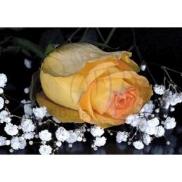 Rose - 100 x 70 cm