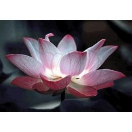 Lotus - 100 x 70 cm