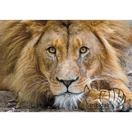 Lion - 100 x 70 cm