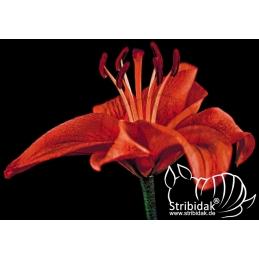 Red Lili - 100 x 70 cm