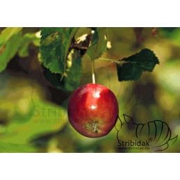 Apple - 100 x 70 cm