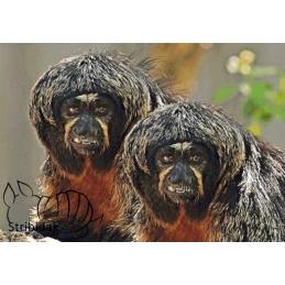Apes - 100 x 70 cm