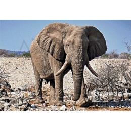 Elephant - 100 x 70 cm