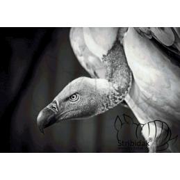 Vulture - 100 x 70 cm